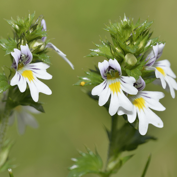 homeopathic remedies for hay fever