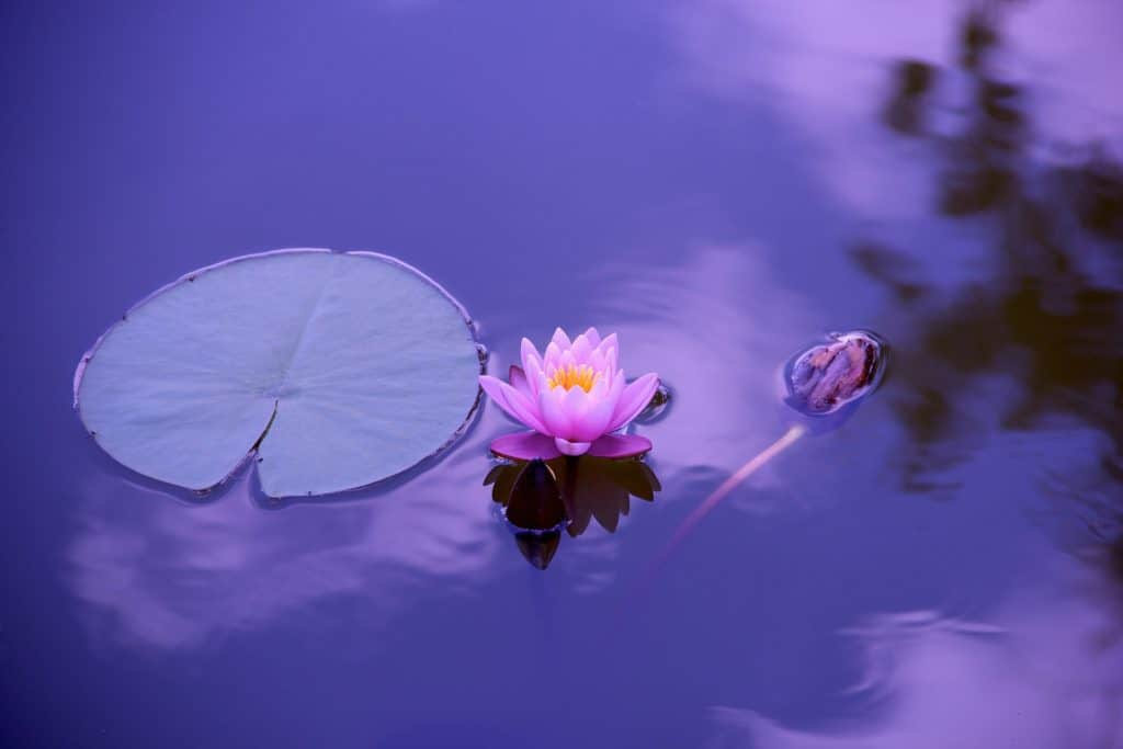 lotus flower and its connection the mantra om