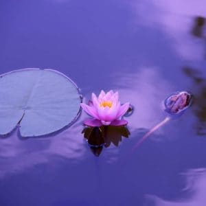 homeopathic remedy lotus, bringer of universal peace and calm