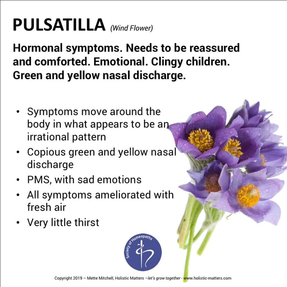 The homeopathic remedy pulsatilla, made from the pasque flower