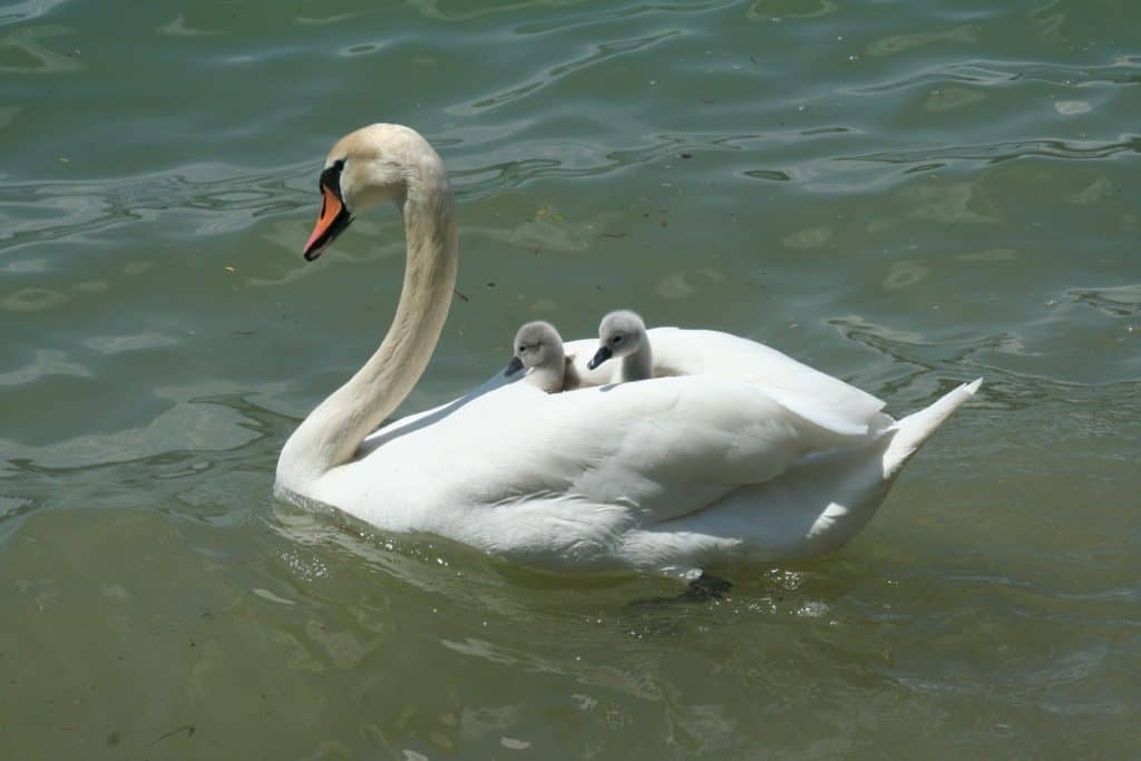 Mother's love illustrated by a swan with her babies on her back