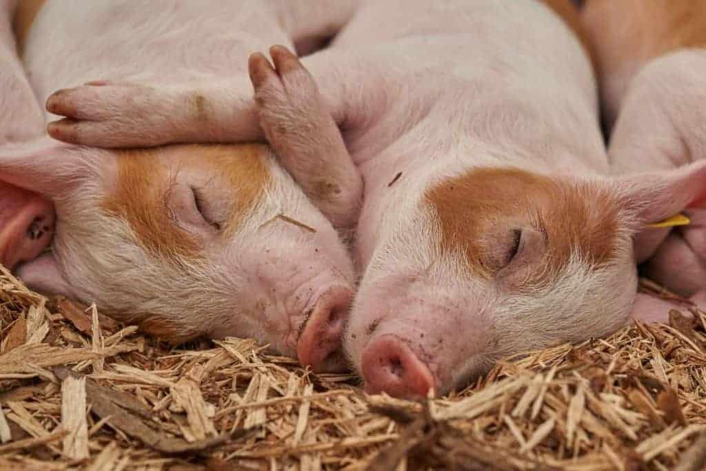 Piglets lying snuggled together
