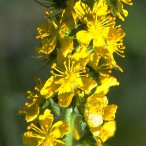 Agrimony Bach Flower Remedy