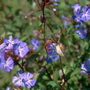Cerato Bach Flower Remedy