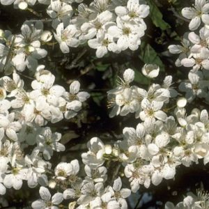 Cherry Plum Bach Flower Remedy