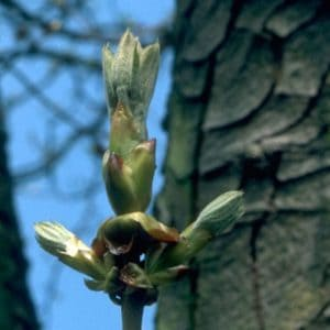 Chestnut Bud Bach Flower Remedy