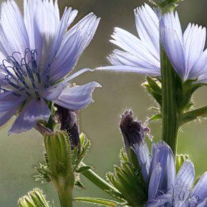 Chicory Bach Flower Remedy