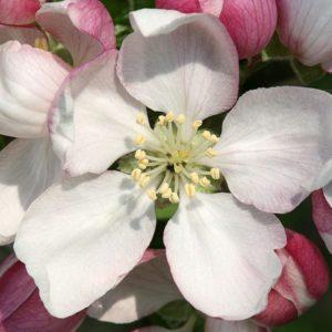 Crab Apple Bach Flower Remedy