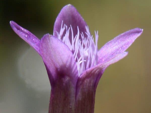 Gentian Bach Flower Remedy