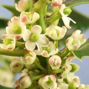 Holly Bach Flower Remedy