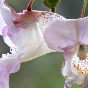 Impatiens Bach Flower Remedy