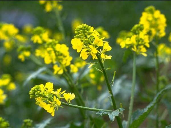 Mustard Bach Flower Remedy