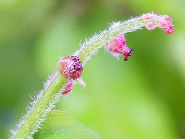 Oak Bach Flower Remedy