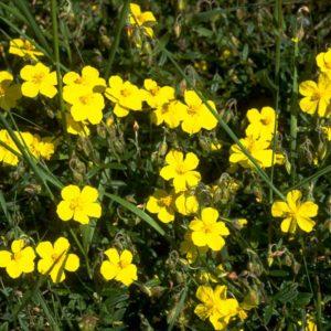 Rock Rose Bach Flower Remedy