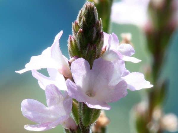Vervain Bach Flower Remedy
