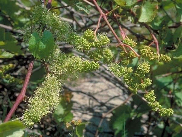 Vine Bach Flower Remedy