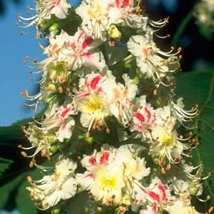 White Chestnut Bach Flower Remedy