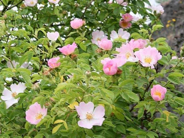 Wild Rose Bach Flower Remedy