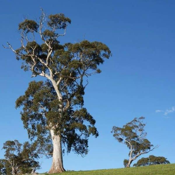 Blue gum eucalyptus tree